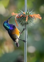 Variable Sunbird - James Allan