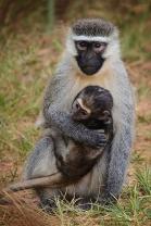 James Allan - Vervet Mother & Baby