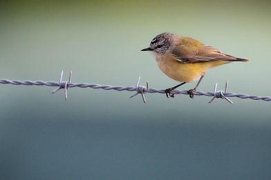 Yellow Rumped Thornbill - James Allan