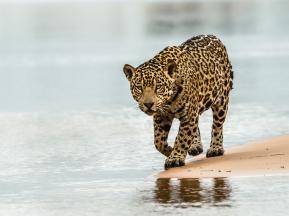 Jaguar - Judy Sara