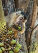Watchful Capuchin