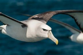 Albatross, Stewart Island - Steve Wallace