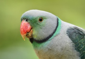 Malabar Parakeet - Helen Whitford