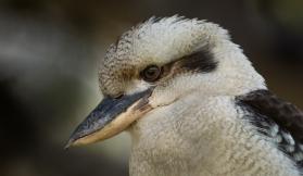 Kookaburra - Ron Hassan