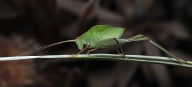 Common Garden Katydid II - Ray Goulter