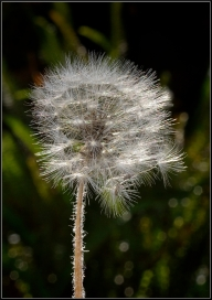 Fibre Optic Dandelion - Helen Whitford