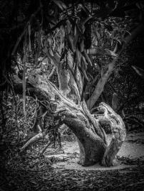Mangrove - Judy Sara
