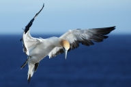 Gannet Descending - James Allan