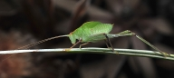 Common Garden Katydid - Ray Goulter