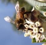 B7. Meredith Retallack -Bee collecting nectar.JPG-Colour set