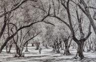 Olive Grove - Judy Sara