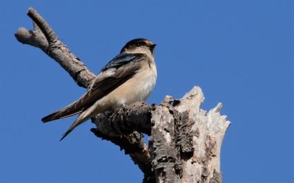 Swallow - Glen Langley
