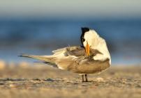 Preening Tern - Helen Whitford