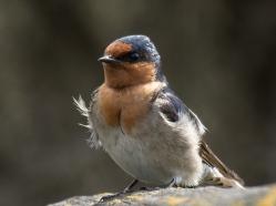 Welcome Swallow - Gordon Lindqvist