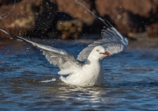 Gull Bathing - Judy Sara