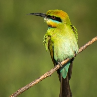 Rainbow Bee-eater - Gordon Lindqvist