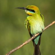 Rainbow Bee-eater - Gordon Lindqvist
