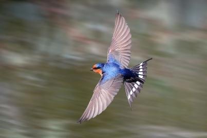 Swallow - James Allan