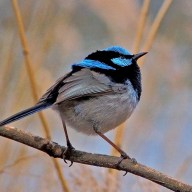 Superb Fairy Wren - Meredith Retallack