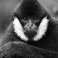 Gibbon Stare - Helen Whitford
