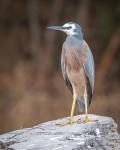 White Faced Heron – SuzieSmith