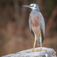 White Faced Heron - Suzie Smith