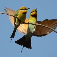 Bee Eaters - James Allan