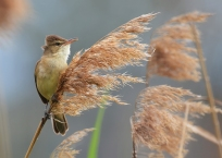 Reed Warbler - James Allan