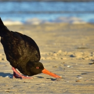 Oyster Catcher Treasure Hunt