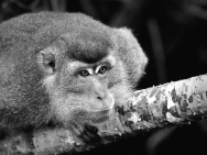 Curious Macaque - Helen Whitford