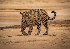Judy Sara - On the Prowl