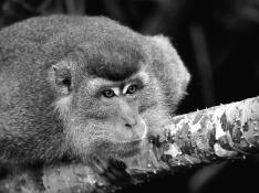 Helen Whitford - Curious Macaque