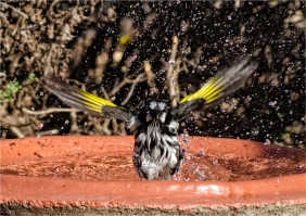 Eric Budworth_Honeyeater Bathing