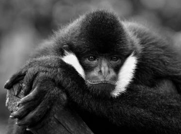 Helen Whitford_White Cheeked Gibbon