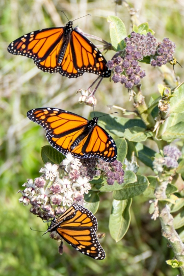 Paul Hughes_Newly Emerged Monarchs on Milkweed