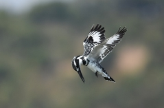 Frances Allan - Pied Kingfisher