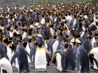 Jenny Pedlar - King Penguins