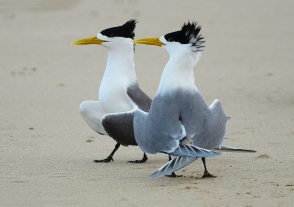James Allan - Dance of Terns