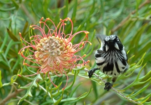 Helen Whitford - MY Grevillea!