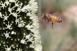Peter Schmid – Bee to aYacca