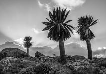 Judy Sara - Bale Mountain Giant Lobelia