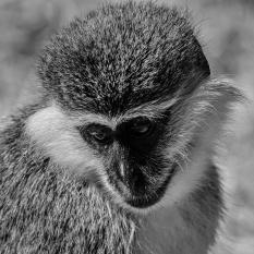 Judy Sara - Vervet Monkey