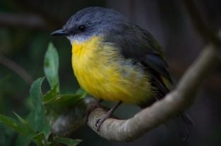 Di Gage - Eastern Yellow Robin