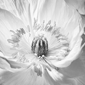 Judy Sara - Inside the Poppy